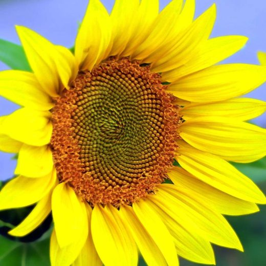 Helen's Sunflower by Bruce Deacon on PageMaster Publishing