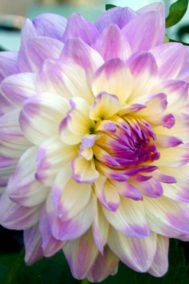 Sylvie's Dahlia by Bruce Deacon on PageMaster Publishing